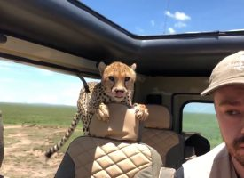 Guepardo salta a su coche en safari (VIDEO)