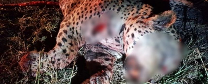 Atropellan a jaguar en Tamaulipas